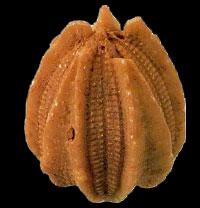 Deltoblastus