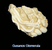 Gusanos_Glomerula