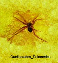Quelicerados_Dolomedes